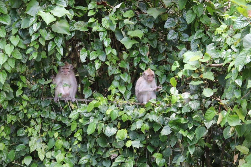Monkeys Ubud Bali